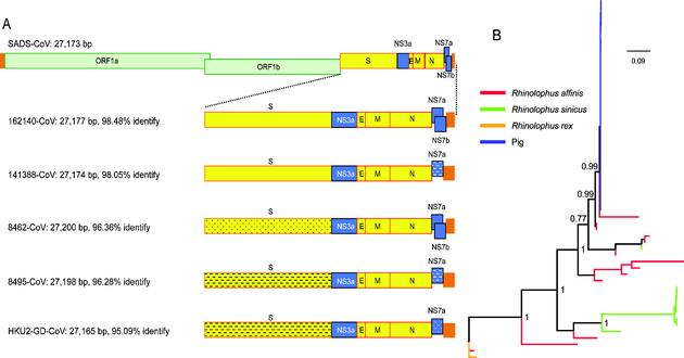 SADS冠状病毒与蝙蝠HKU2相关冠状病毒的基因组比较(A)和囊膜蛋白S1基因进化分析(B)