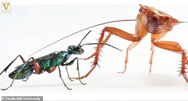 在蟑螂对抗黄蜂的实验中,研究人员发现在黄蜂将毒刺扎向蟑螂之前,蟑螂会用带刺的后腿将黄蜂踢开。