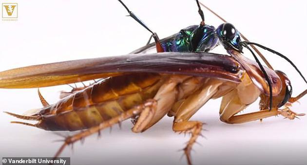 """绿宝石黄蜂能够将身体毒刺扎入蟑螂大脑,麻痹其大脑组织,变成黄蜂的""""僵尸"""",黄蜂将让蟑螂身体成为黄蜂幼卵载体,直至幼卵孵化逐渐吸干蟑螂身体的营养物质。"""