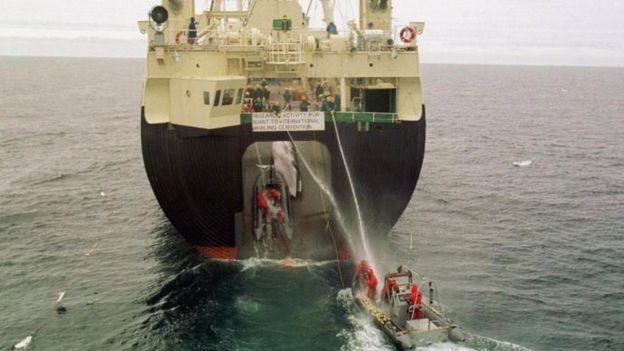 很多人认为,所谓以科研为目的进行捕鲸不过是为了掩人耳目。