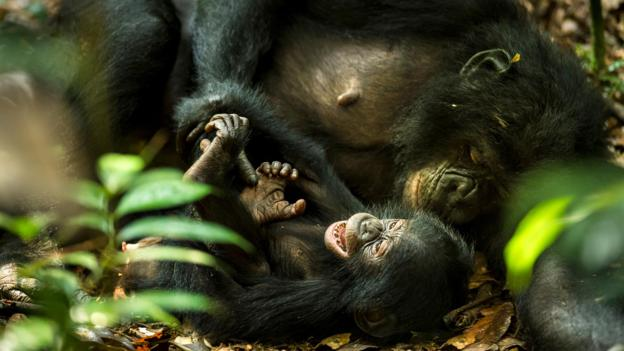 倭黑猩猩母親正在給幼崽撓癢