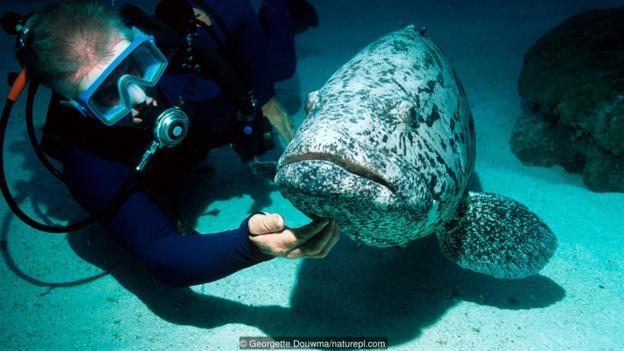一位潛水者正在給黑斑石斑魚(學名:Epinephelus tukula)撓癢