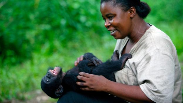 动物管理员正在给一头年幼的倭黑猩猩(学名:Pan paniscus)挠痒