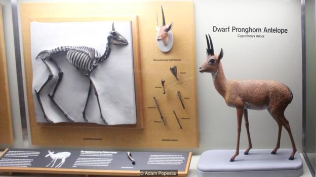 倭叉角羚未能存活下來