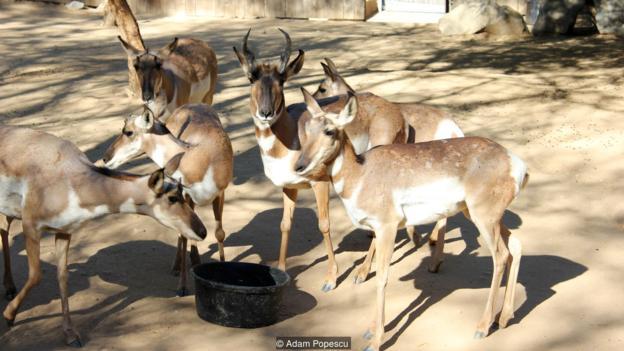 當其他許多物種滅絕時,叉角羚存活了下來
