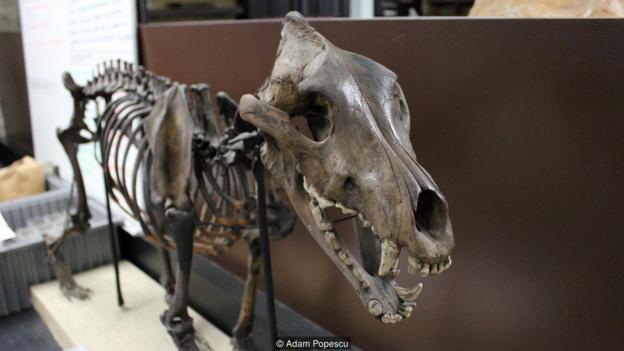 許多北美大型哺乳動物已經滅絕