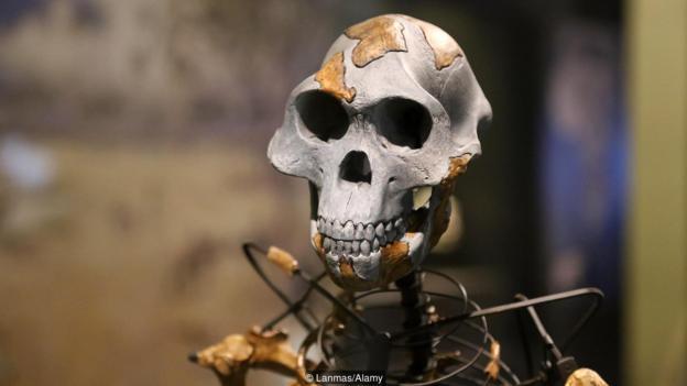 阿法?#25103;?#21476;猿(Australopithecus afarensis )生活在大约300万年前,被认为是人属的祖先。