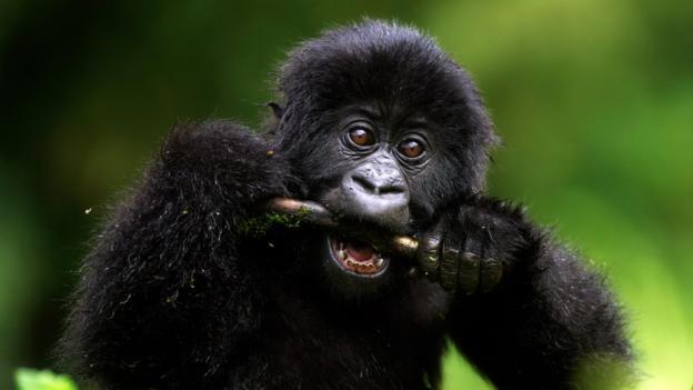 正在进食的山地大猩猩。
