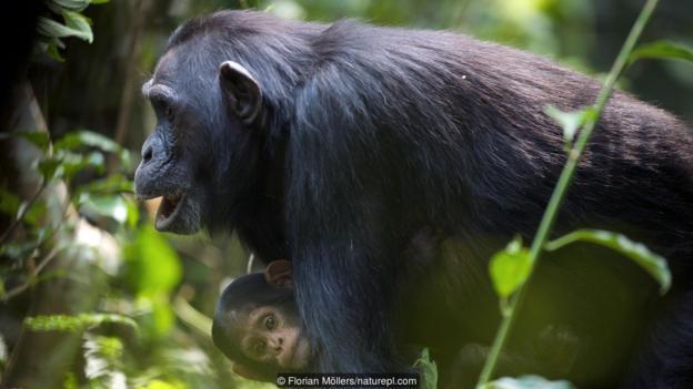 黑猩猩是与人类?#33258;?#20851;系最近的物种吗?