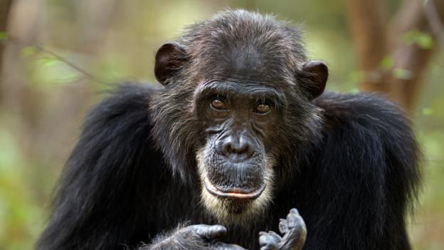 黑猩猩(如图)是否是人类的姐妹种?