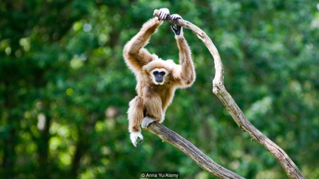 长臂猿与人类的关系不像黑猩猩那么近。