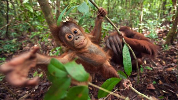 婆罗洲猩猩(Pongo pygmaeus)