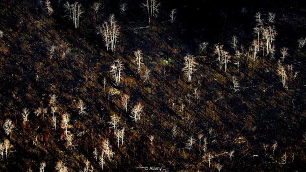 正在丛林年夜水以后,跟着幼苗正在烧焦的地盘上从头少出,南方丛林中的降叶紧、桦树战针叶树的均衡正正在发作变革