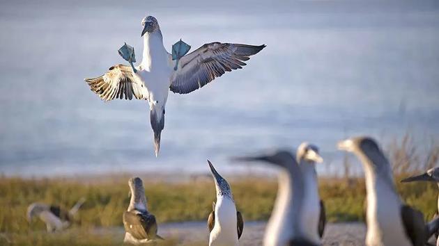 一只海鸟正要下落在玛丽亚群岛的一座岛上。    来源:Octavio Aburto/iLCP