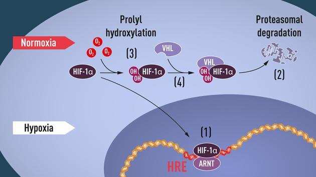 缺氧条件下,HIF与ARNT(芳香烃受体核转位子)的复合体结合到基因组的缺氧调节基因序列(HRE)上,激活了与适应缺氧环境有关的基因表达(1)。在正常氧含量下,HIF-1α被蛋白酶体迅速降解(2)。降解过程中,涉及到氧依赖性的羟基化过程(3)。羟基化使HIF-1α可以被VHL复合体识别(4)。
