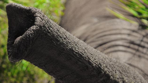 """大象鼻子是""""超级吸盘"""",吸气速度是人类打喷嚏的30倍!"""