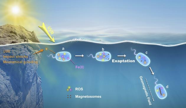 科研人员获得感磁微生物起源和地球早期生命演化新认识