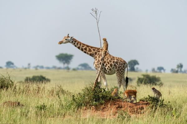 """乌干达小猴子意外""""骑""""长颈鹿""""搭便车"""""""