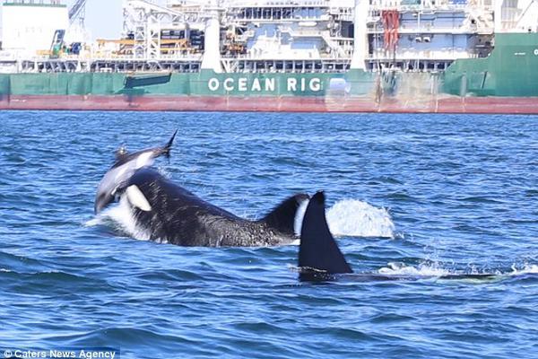 虎鲸攻击海豚:开膛破肚 脂肪层被撕成碎块