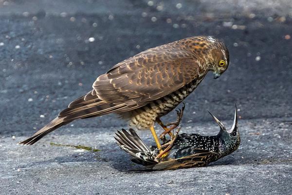 英国椋鸟惨遭雀鹰捕食 被踩脚底下毫无还击之力