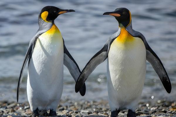 帝企鹅温情一幕!手牵手深情对视超有爱