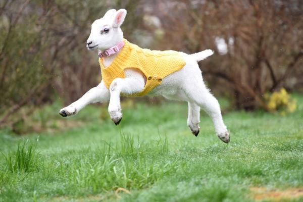 小羊羔与猎犬同吃同住 把自己活成了狗