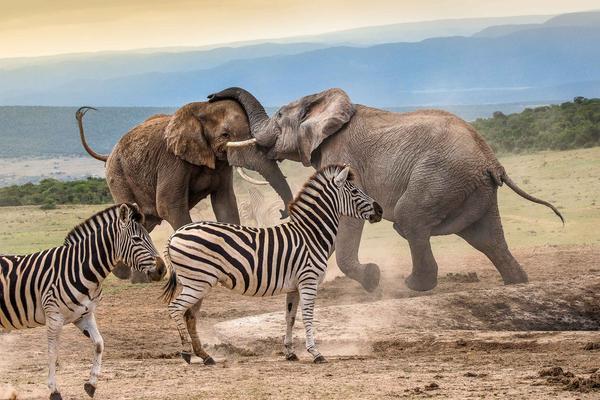 南非大象因干旱上演夺水大战 斑马一旁吃瓜当看戏群众