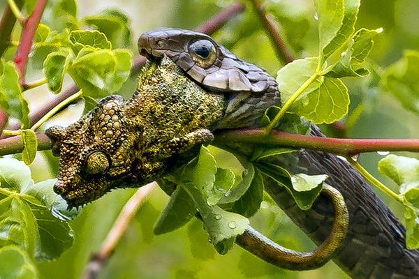 肯尼亚蛇生吞变色龙:猎物吓呆10分钟被吞下肚