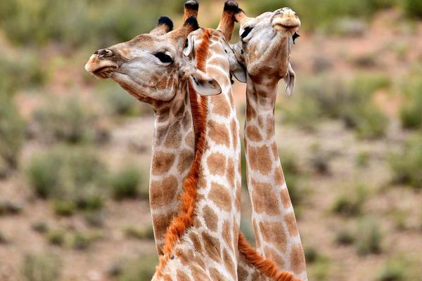 姿势亮了:南非长颈鹿见面玩拥抱 长脖交缠高难度