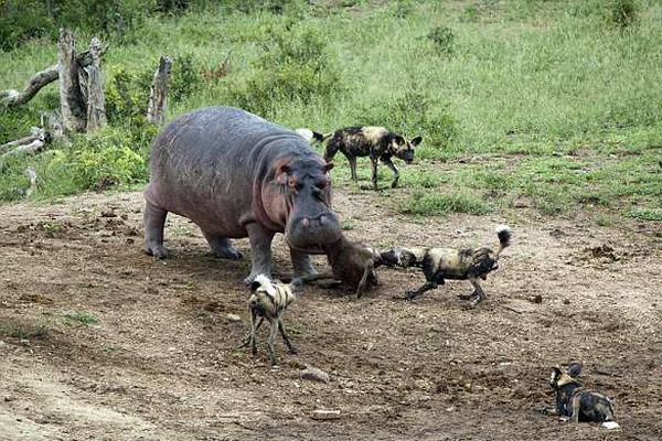 南非河马捕食水羚遭鬣狗群挑战 拉锯战中输掉食物