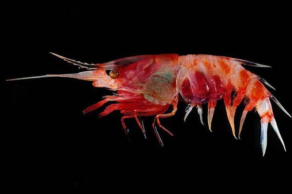 科学家在印尼海域发现多种怪异深海生物