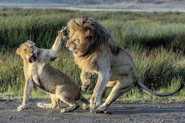 """非洲狮子夫妇吵架怒气冲冲 母狮一怒之下掌掴""""男友"""""""