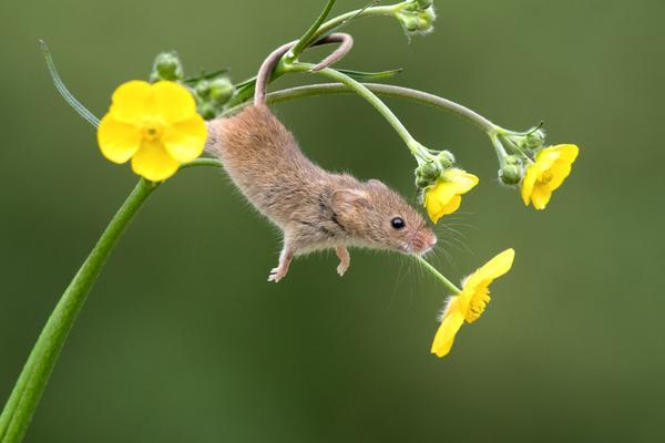 英国巢鼠攀爬植物秀杂技 模样可爱呆萌