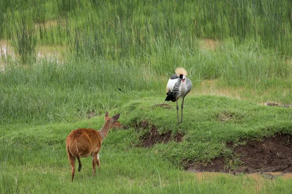 美梦被吵醒 东非羚羊遭丹顶鹤追赶