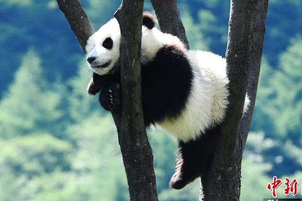 """大熊猫宝宝在""""幼儿园""""悠闲自得享受夏日阳光"""