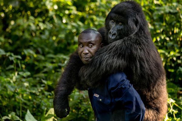 刚果大猩猩似黏人小孩 赖饲养员身上要抱抱被宠溺