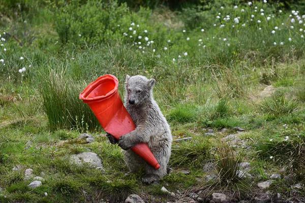 小北极熊抱着交通锥自玩自嗨憨态可掬惹人爱