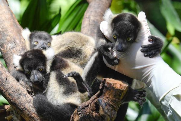 广州长隆成功繁育中国首例斑狐猴三胞胎