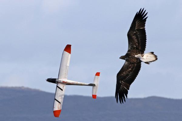 任性海雕同滑翔机模型天空竞速 上演精彩比翼双飞