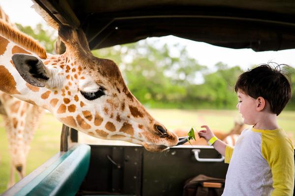 美三岁萌娃大胆喂食长颈鹿 画面超暖