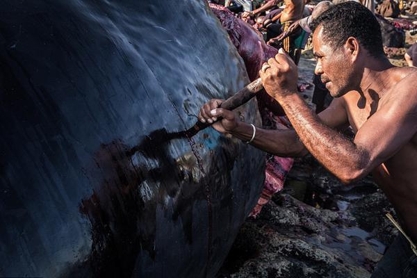 印度尼西亚小岛渔民靠捕捞鲸鱼维生遭非议
