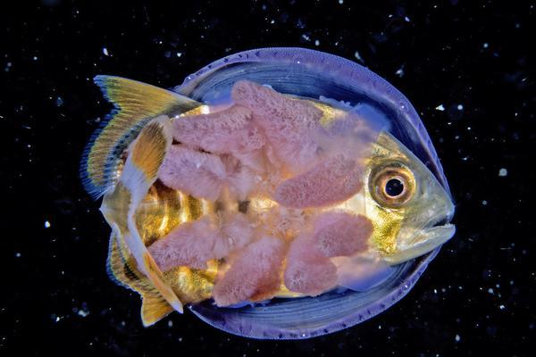 """小鱼钻进水母肚子""""搭便车"""":保护自己不被大鱼吃掉"""
