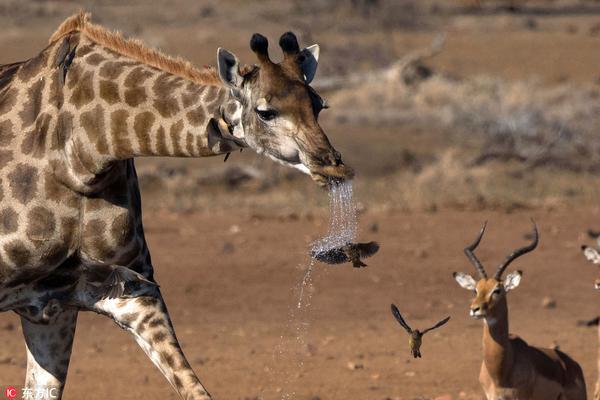 """南非牛椋鸟体验""""淋浴"""" 被长颈鹿""""口水""""喷一身"""