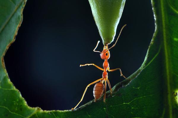 """蚂蚁""""举铁""""了解一下?身材虽小力量惊人"""