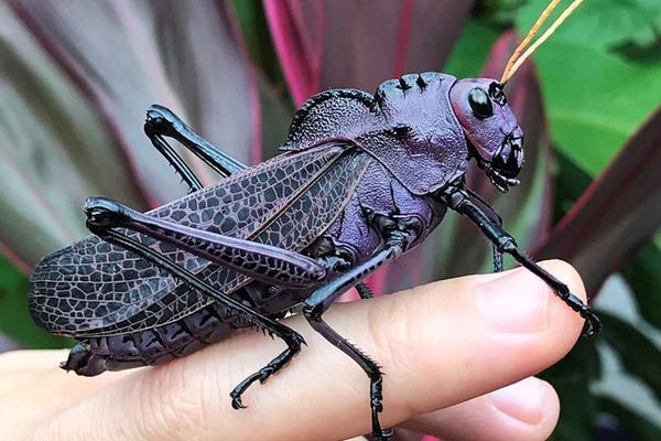 罕见!哥斯达黎加女子发现紫色蚱蜢