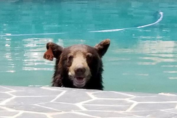 熊出没!黑熊跳入美居民家后院泳池纳凉对镜头露微笑