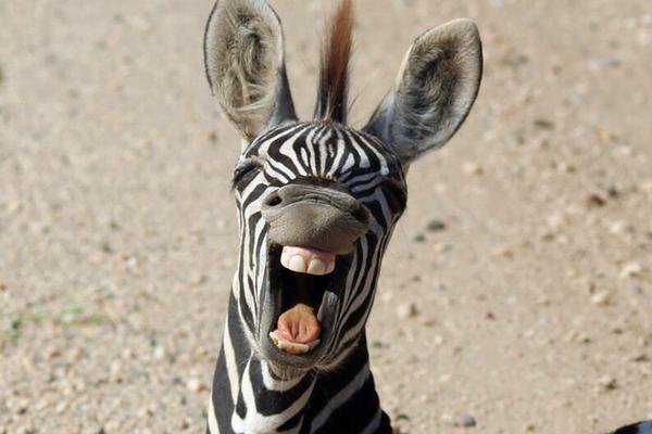 南非斑马霸占马路不让过 龇牙大笑很魔性!