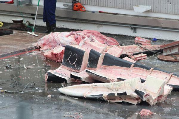 残忍!冰岛公司捕杀稀有杂交鲸鱼 进行切割处理