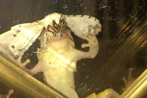 美国大蛾子生命力惊人 被青蛙吞下肚后活着爬了出来