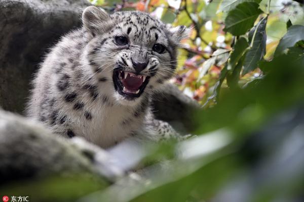 捷克动物园雪豹嬉闹玩耍 对镜头怒吼咆哮超凶的